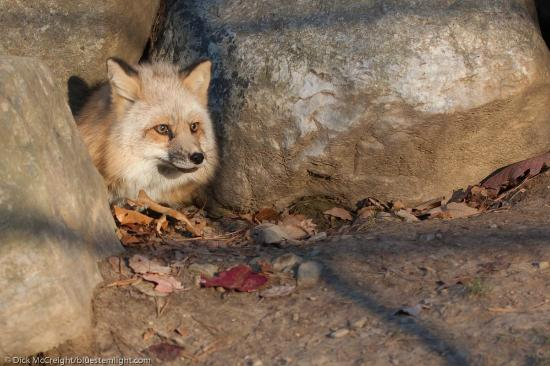 Lakota Wolf Preserve: A fox in the rocks