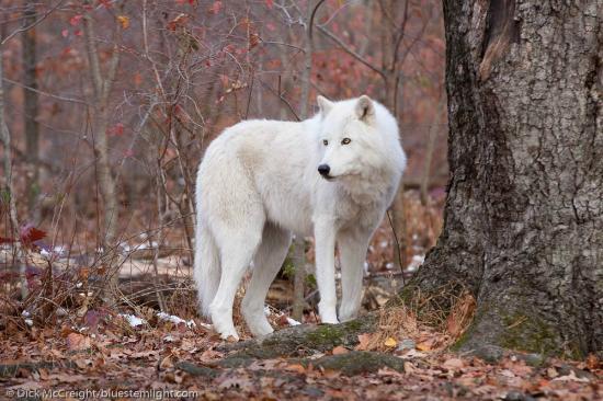 Lakota Wolf Preserve: Arctic wolf