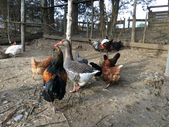 Thyme in the Country: Toulouse goose and chickens