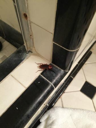 Dauphine Orleans Hotel : Roach in shower