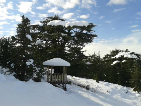 Tannourine, เลบานอน: A Cedar Tree for the Lebanese Legend Sabah