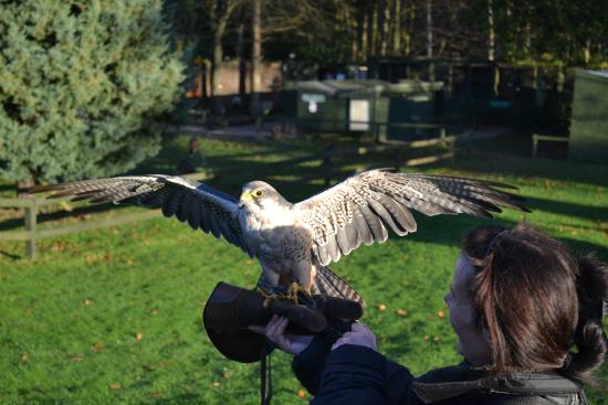 Dalhousie Castle Falconry Lanner Falcon