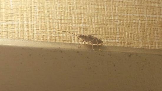 Residence Inn Harrisburg Hershey: Stink Bugs Galore