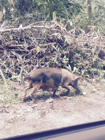 Palikir, اتحاد دول ميكرونيزيا: A Pohnpei pig