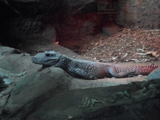 Minnesota Zoo: dwarf crocodile