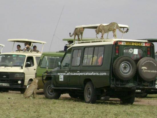 Super Cats Tours and Travel - Private Day Tours : Kenya safari with a cheetah drama
