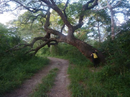 Arabuko-Sokoke Forest: Brachystegia