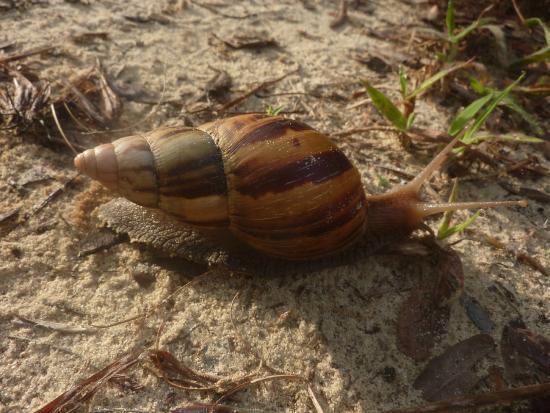 Arabuko-Sokoke Forest: chiocciola gigante carnivora