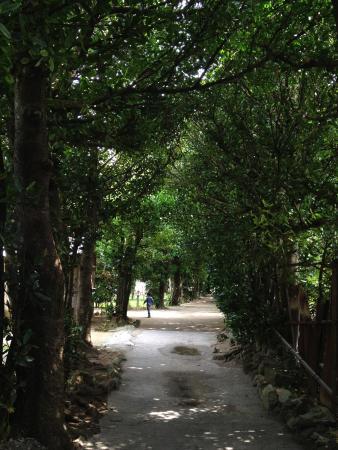 Bise Fukugi Tree Road : フクギ並木道