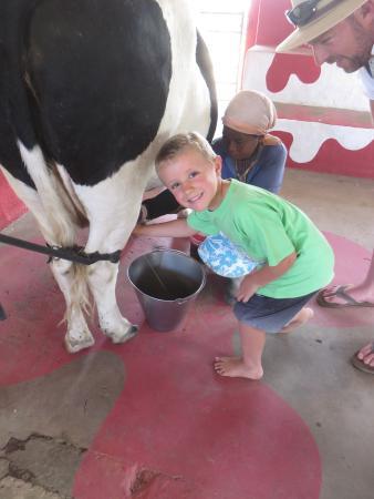 Flag Animal Farm : Milking cows
