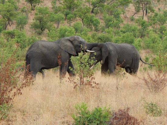 Felleng Tours: Two bull elephants