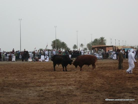 East Coast Tourism - Day Tours: Bull fighting in Fujairah
