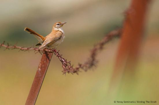 Birding The Strait: One of our summer visitors, the Rufous-tailed Scrub Robin