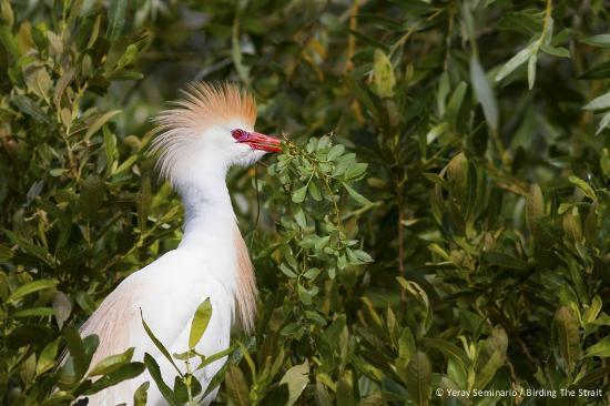 Birding The Strait: Breeding Cattle Egret at La Janda