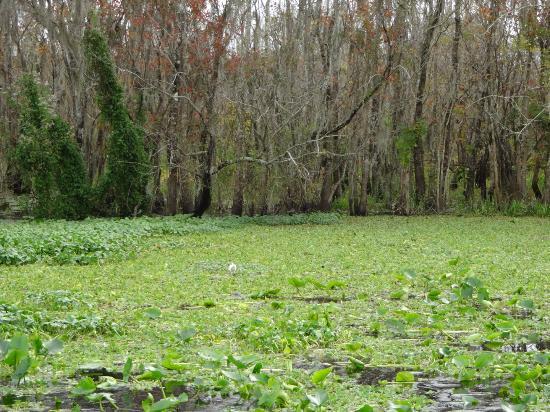 Blue Heron River Tours: Manatee feeding under the sea lettuce...