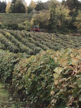 Mazza Vineyards: Concord grapes on the vine