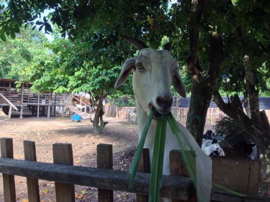 PD Ostrich Show Farm: Feeding goat