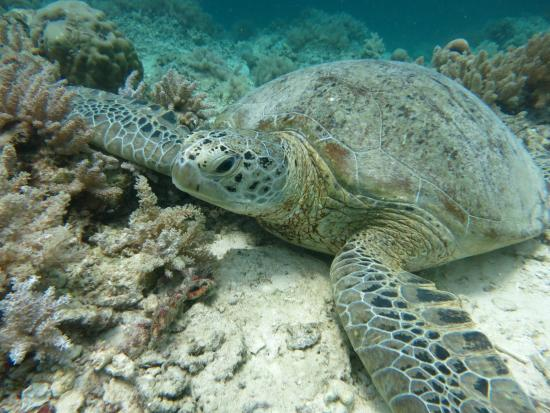 Scuba Junkie Mabul Beach Resort: Turtle