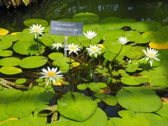 Kanagawa Prefectural Ofuna Botanical Garden : 白の睡蓮です・・・