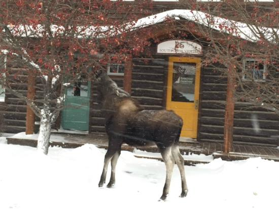 Hole Hiking Experience: Moose right in town!