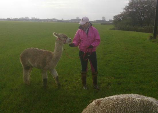 Burmarsh, UK: Alpaca Annies
