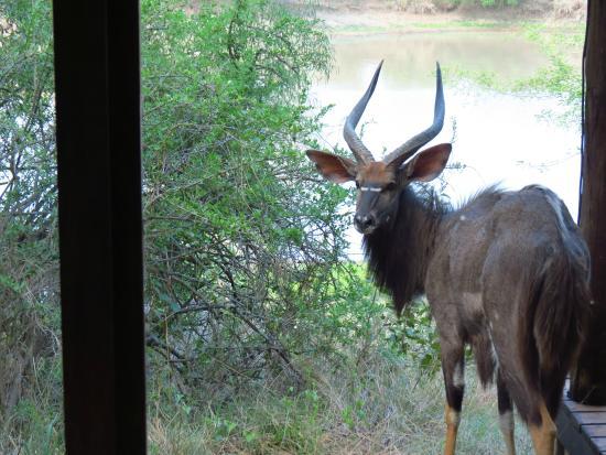 Waterbuck Game Lodge: Male Nyala outside the room