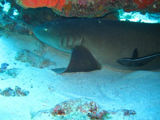 Caribbean Sea Sports Dive Shop: shark at the Mushroom Forest