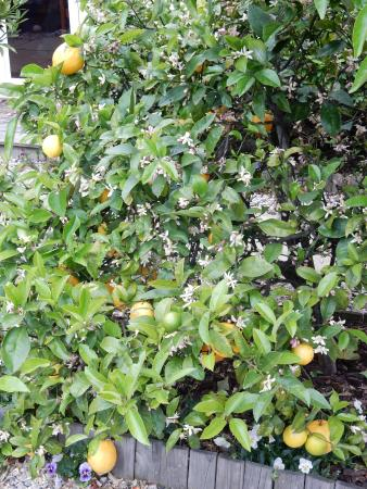 Ambleside Bed & Breakfast: Lemons in the garden