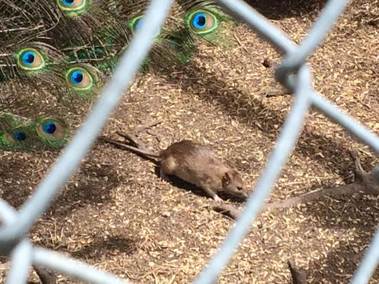Crystal Mountain : One of the large rats in the peacock enclosure (unsure if they were meant to be there, weird cag