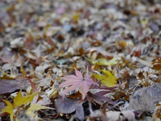 Higashisonogi-gun, Japan: 紅葉の絨毯