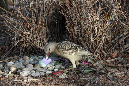 Atherton Tablelands: Great Bowerbird arranging his bower