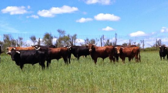 Brunete, Espanha: Finca de toros bravos