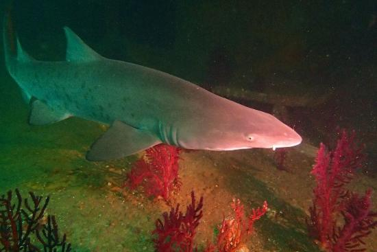 Olympus Dive Center : Sand Tiger on the Aeolus wrech