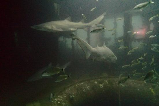 Olympus Dive Center : Sand Tiger Sharks on the Aeolus wreck