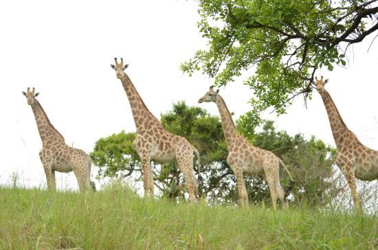 Gwahumbe Game & Spa: Curious Giraffe