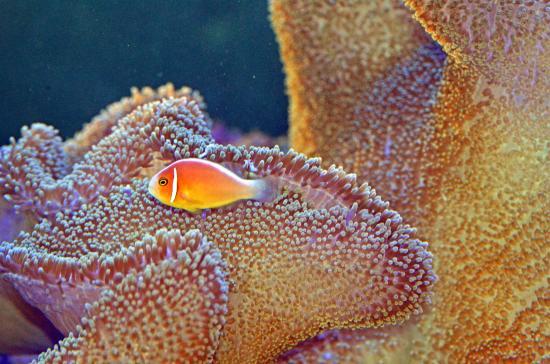 Ocean Park Aquarium: anemone & clown fish