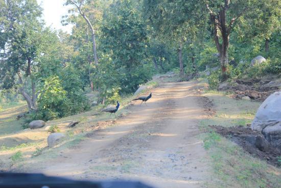 Dahod, الهند: Peacock at Sanctuary