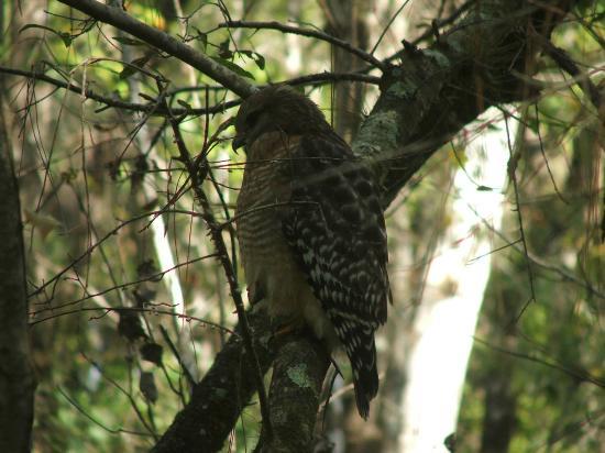 Sebring, FL: Red-Shouldered Hawk.