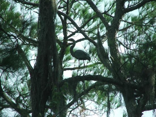 Sebring, FL: Blue Heron.