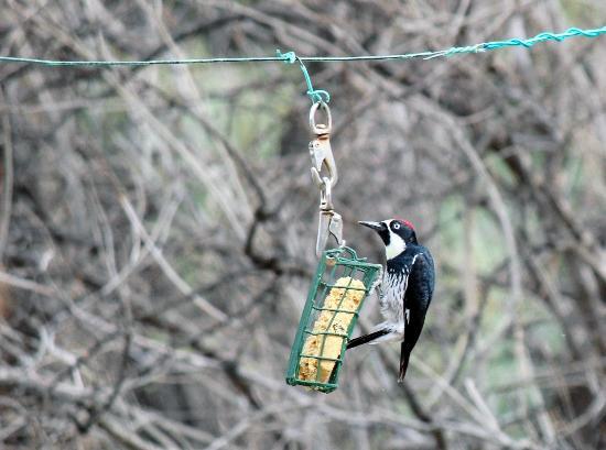 Cave Creek Ranch: Acorn Woodpecker