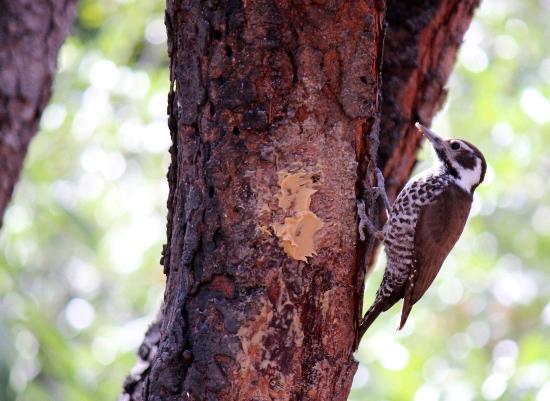 Cave Creek Ranch: Arizona Woodpecker