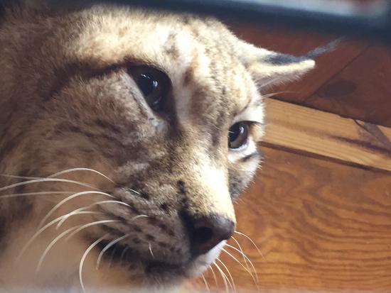 Bear Creek Feline Center: Siberian Lynx