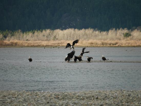 Fraser River Safari: Eagles feasting