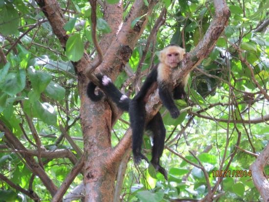 Four Seasons Resort Costa Rica At Peninsula Papao Monkey On Beach