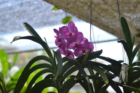 Bali Orchid Garden: orchid 1
