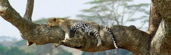 Arusha Region, Tanzania: Leopard - Serengeti National Park