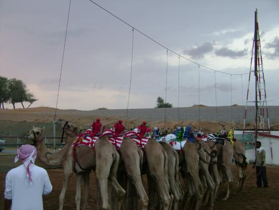 Al Sawan Camel Track : Верблюжьи бега: первый забег на рассвете