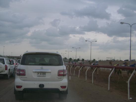 Al Sawan Camel Track : Зрители следуют на джипах за бегущими верблюдами