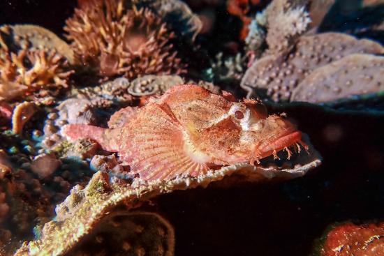 NAD-Lembeh Resort: Curious Scorpion fish