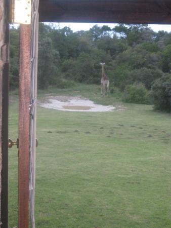 The Baroness Luxury Safari Lodge: Morning giraffe